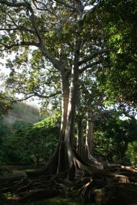 Allerton Garden Ficus